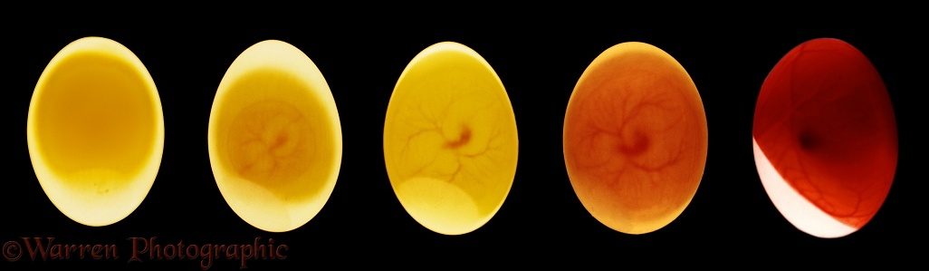 Egg of Feral Pigeon (Columba livia) photographed by transmitted light ('candled'). Showing development at days 0, 2, 5, 7, and 14