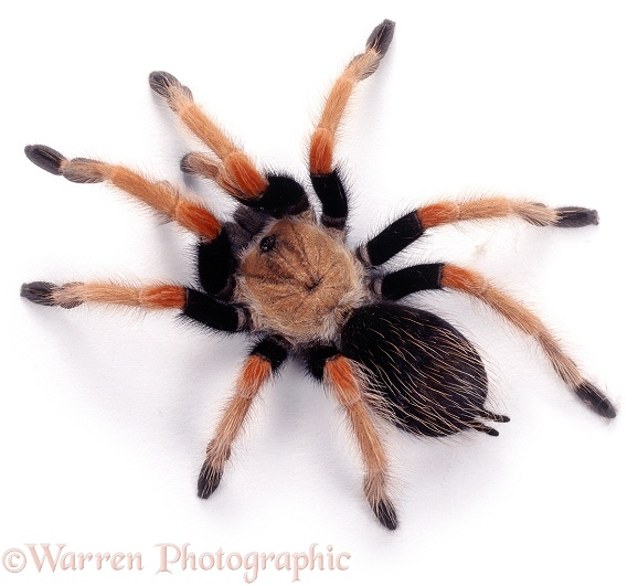 Mexican Fire Leg Tarantula (Brachypelma boehmei), white background