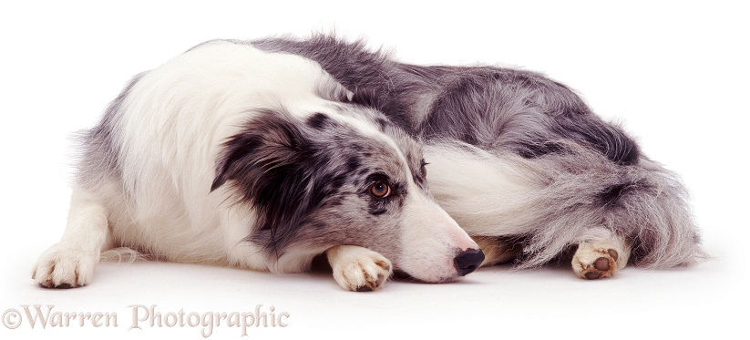 Blue Merle Border Collie bitch, Misty, lying down, white background