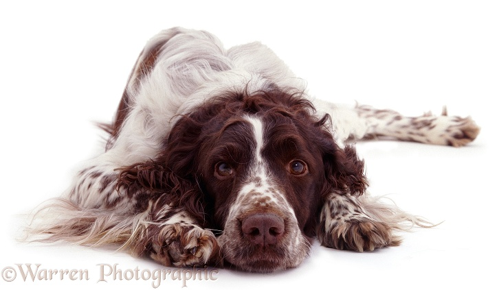 English Springer Spaniel, Monty, with chin on ground, white background