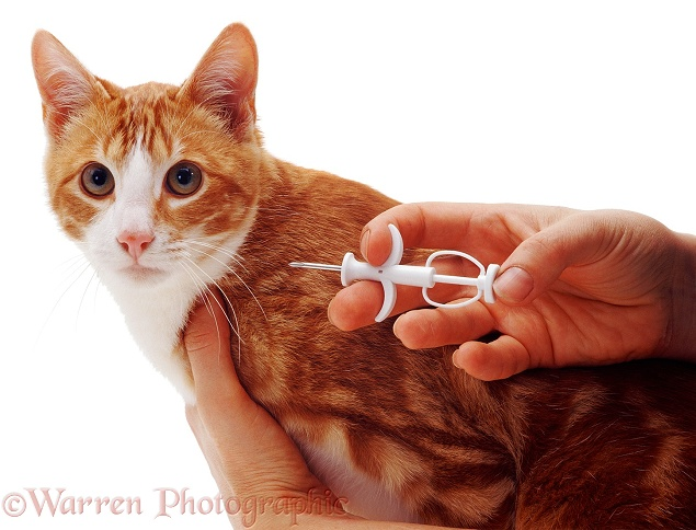 Implanting a microchip in red tabby cat, Dandy, white background
