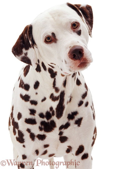 Dalmatian dog portrait, white background