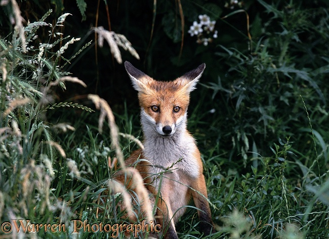 Red Fox (Vulpes vulpes) portrait of cub