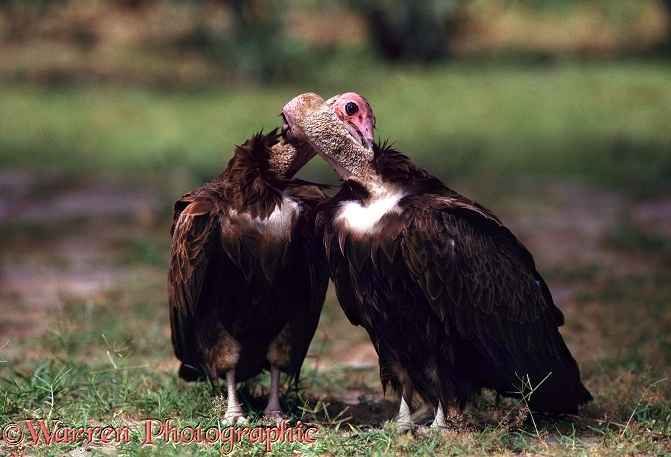 Hooded Vulture (Necrosyrtes monachus) pair mutual preening