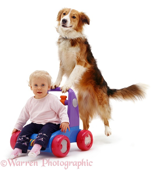 Siena, 13 months old, being pushed along on a plastic walker toy, by Border Collie dog, Bobby, white background