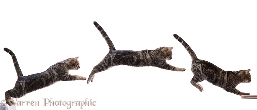 Tabby cat leaping a gap, three images, white background