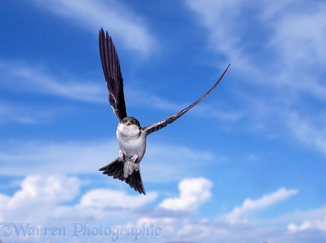 House Martin (Delichon urbica) juvenile learning to fly