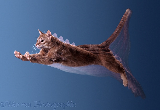Red Burmese cat leaping: 5 strobe images