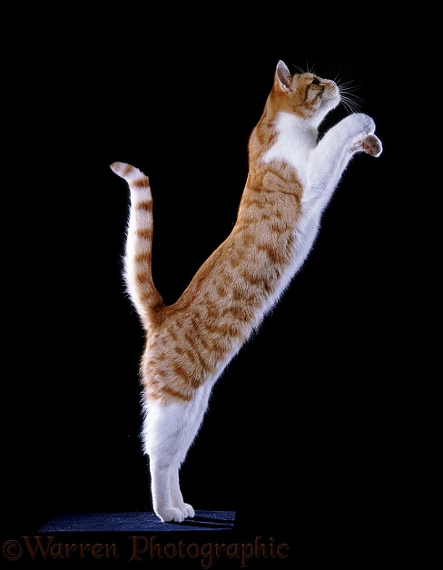 Ginger & white Cat leaping up