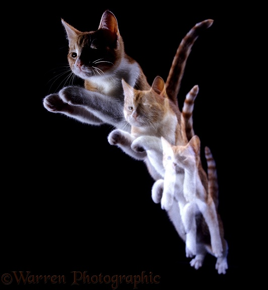 Ginger Cat leaping forward multiple exposure