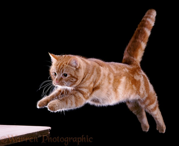 Ginger cat, Glenda, leaping a gap