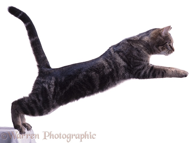 Tabby Cat leaping (series No 1), white background