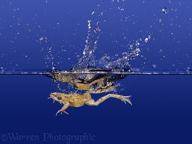 Common Frog (Rana temporaria) diving into clear water