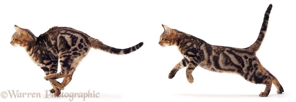 Brown classic or blotched tabby cat running, white background