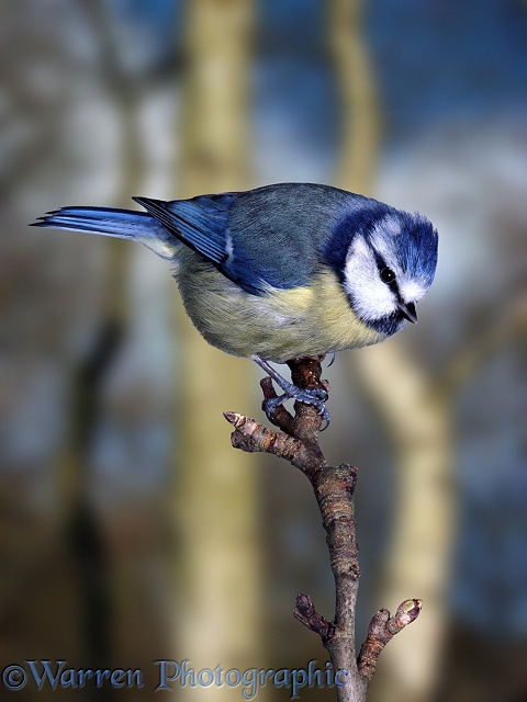 Blue Tit (Parus caeruleus) raising its crest.  Europe
