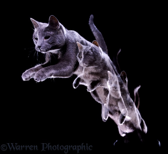 Russian Blue cat Suzie leaping towards us, 3 images
