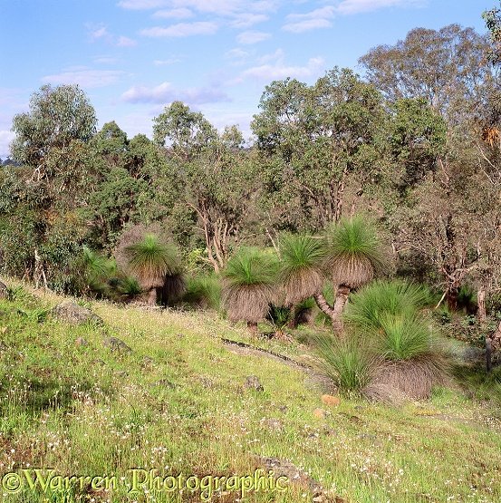 Grass trees at Gidgegannup