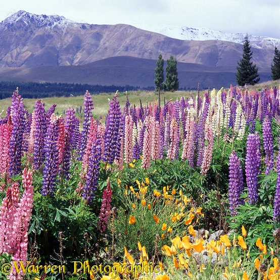 'Feral' lupines with mountain backdrop.  New Zealand
