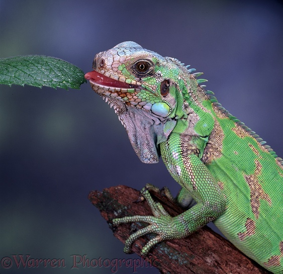 Green Iguana (Iguana iguana) tasting leaf.  Central & South America