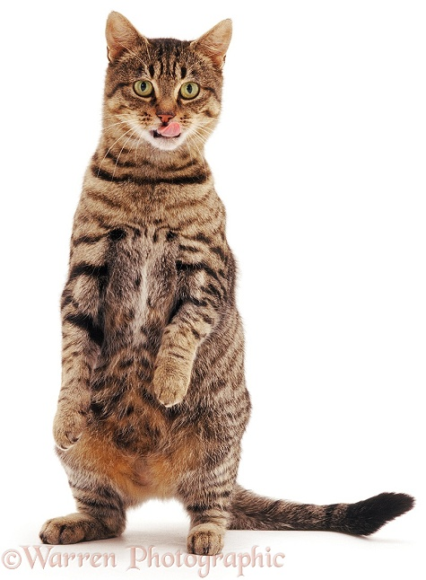 Striped tabby female cat Tabitha, standing with tongue out, white background