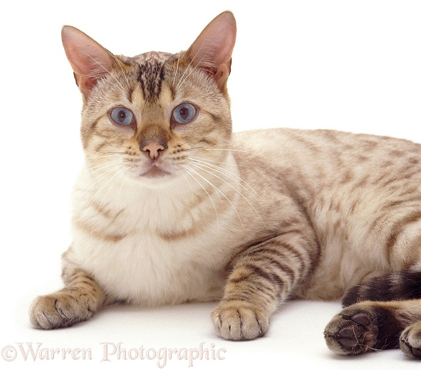 Blue-eyed Sepia-spotted Bengal male cat Lynx, lounging, white background