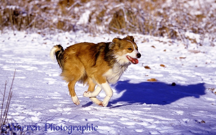 Sable Border Collie Bobby running in snow