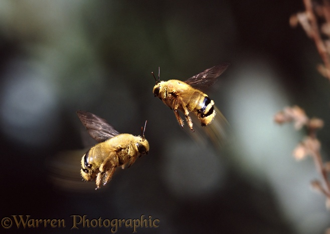 Carpenter Bee (Xylocopa caffra) males in territorial engagement
