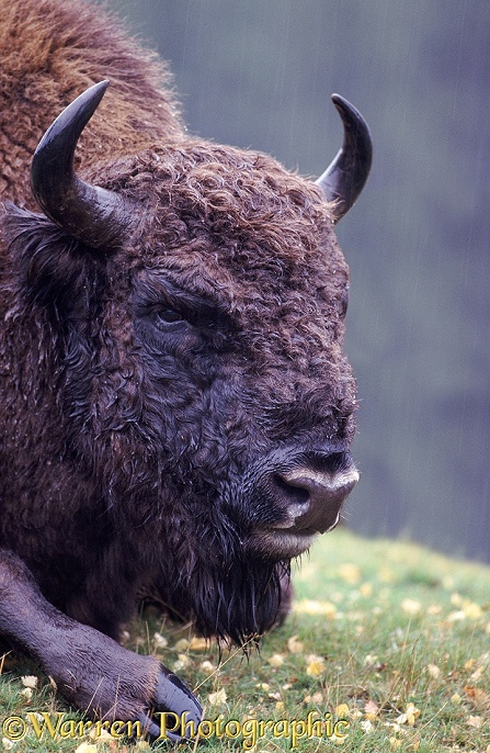 European Bison (Bison bonasus) in the rain