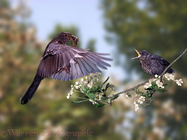 Blackbird (Turdus merula) feeding young.  Europe