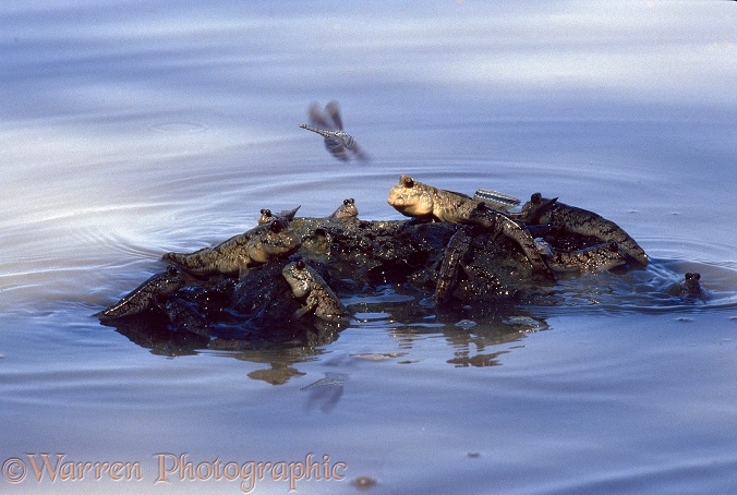 Mudskipper (Periophthalmus barbarus) Gathering on a rock as the tide rises