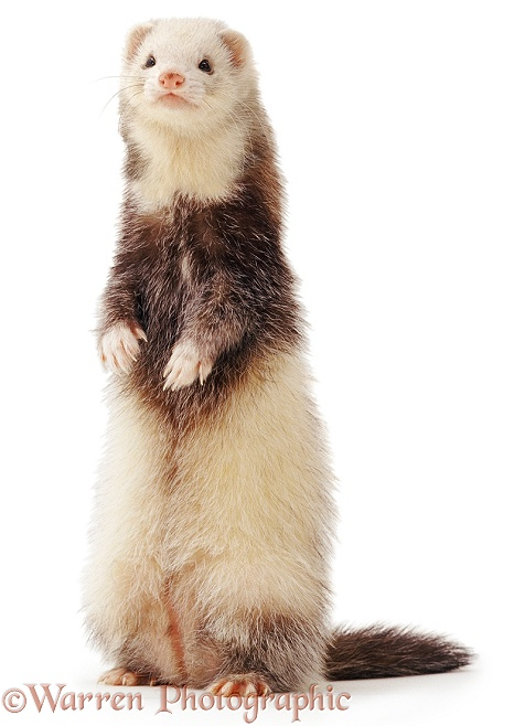 Ferret standing up, white background