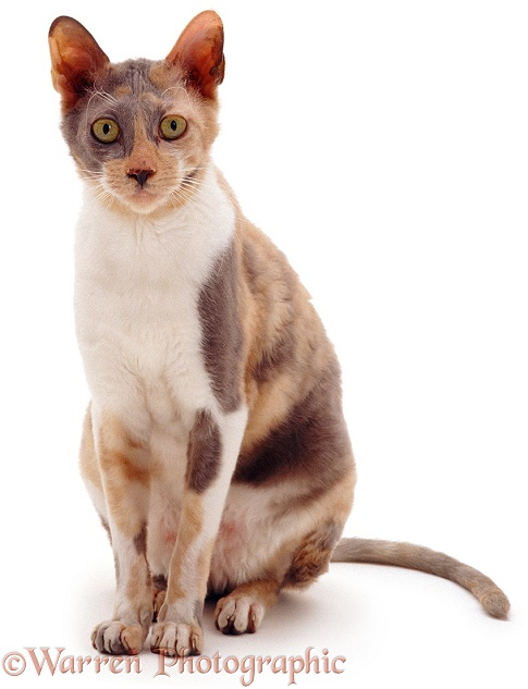 Cornish Rex cat Faberge, sitting, white background