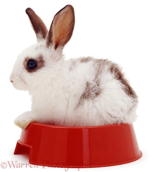 Young blue-spotted rabbit in a red food bowl, white background