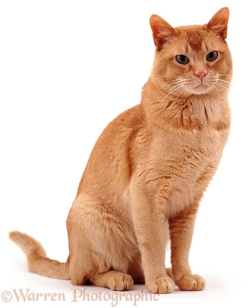 Red Burmese male cat Ozzie, sitting, white background