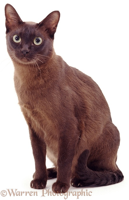Brown Burmese cat, white background