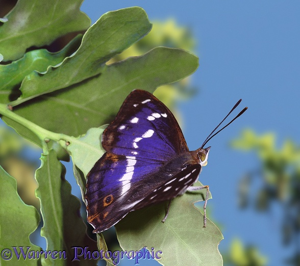 Purple Emperor (Apatura iris) on an oak leaf