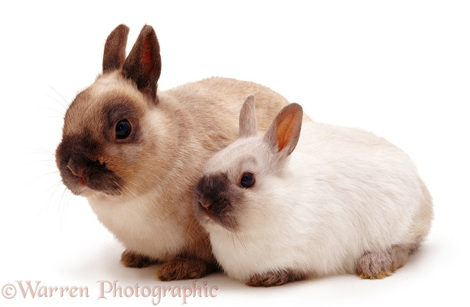 Colourpoint Netherland Dwarf male rabbit Boson, with his young son, white background