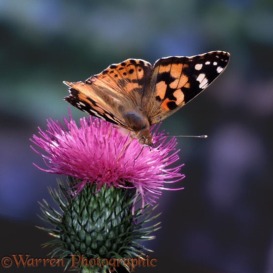 Painted Lady (Cynthia cardui) on Spear Thistle (Cirsium vulgare)