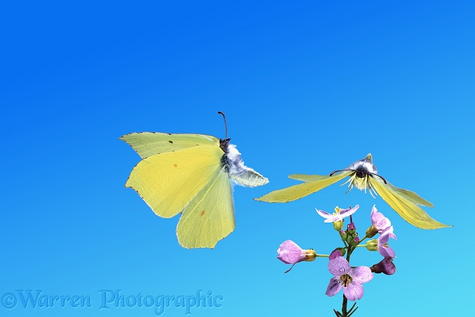 Brimstone (Gonepteryx rhamni) male taking off from Cuckoo Flower as another approaches.  Europe