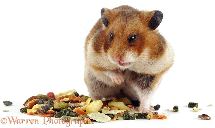 Golden Hamster (Mesocricetus auratus) with cheek pouches stuffed full of food, white background