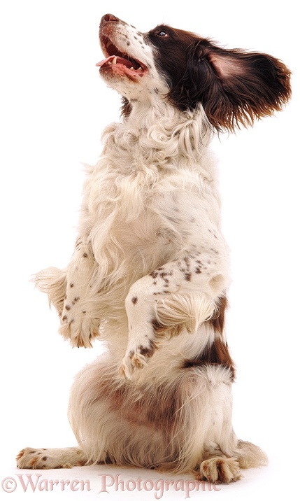 English Springer Spaniel, Rob, sitting up and begging, white background