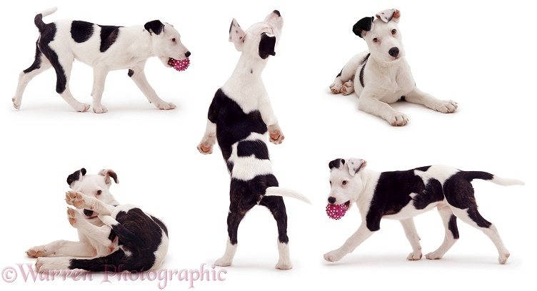 Black-and-white Staffie-cross pup, Becks, white background