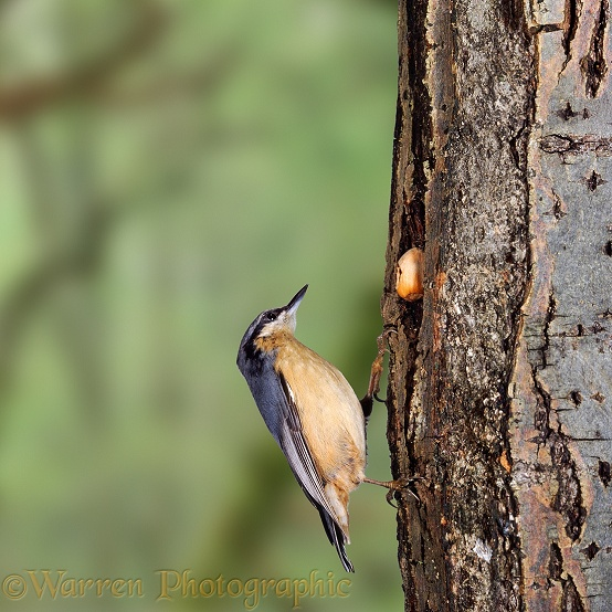Nuthatch (Sitta europaea) hammering a nut wedged into the trunk of a tree.  Europe