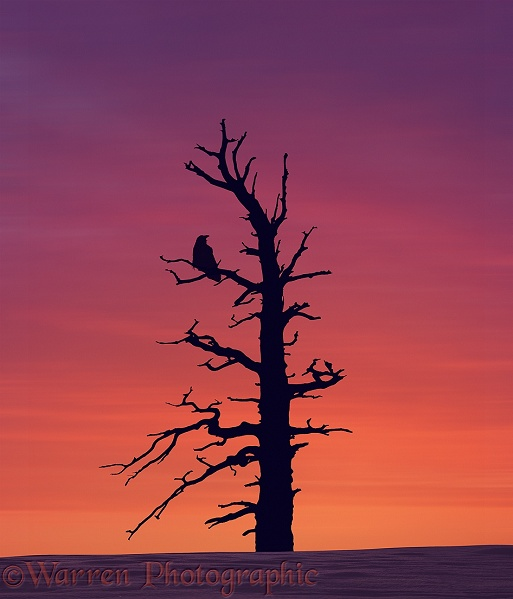Raven (Corvus corax) in tree at sunset