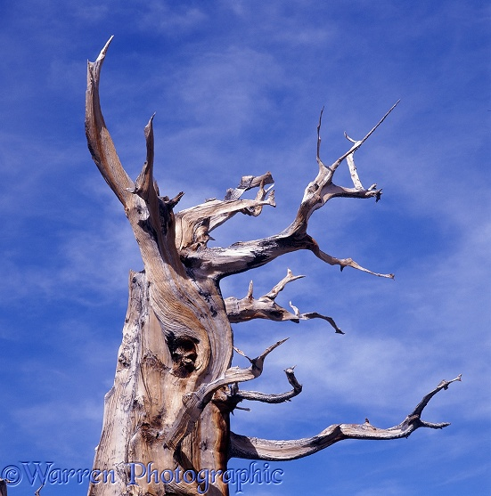 Bristlecone Pine (Pinus aristata).  South-west USA
