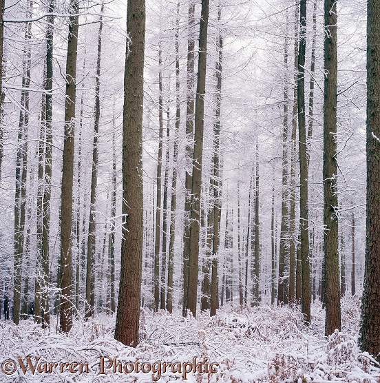 Larches with snow 3D R