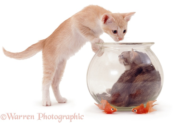 Kittens and goldfish bowl, white background