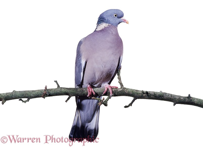 Wood Pigeon (Columba palumbus), white background