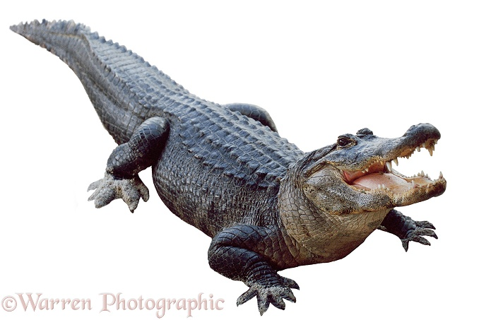 American Alligator (Alligator mississippiensis), white background
