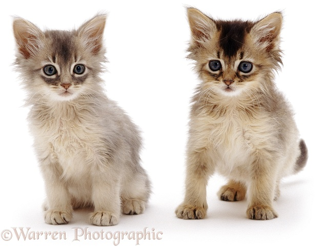 Pair of Somali kittens, white background